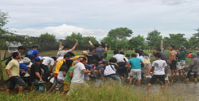 Farmers break through the wired fence of the Department of Agriculture (DA) compound to uproot golden rice plants...